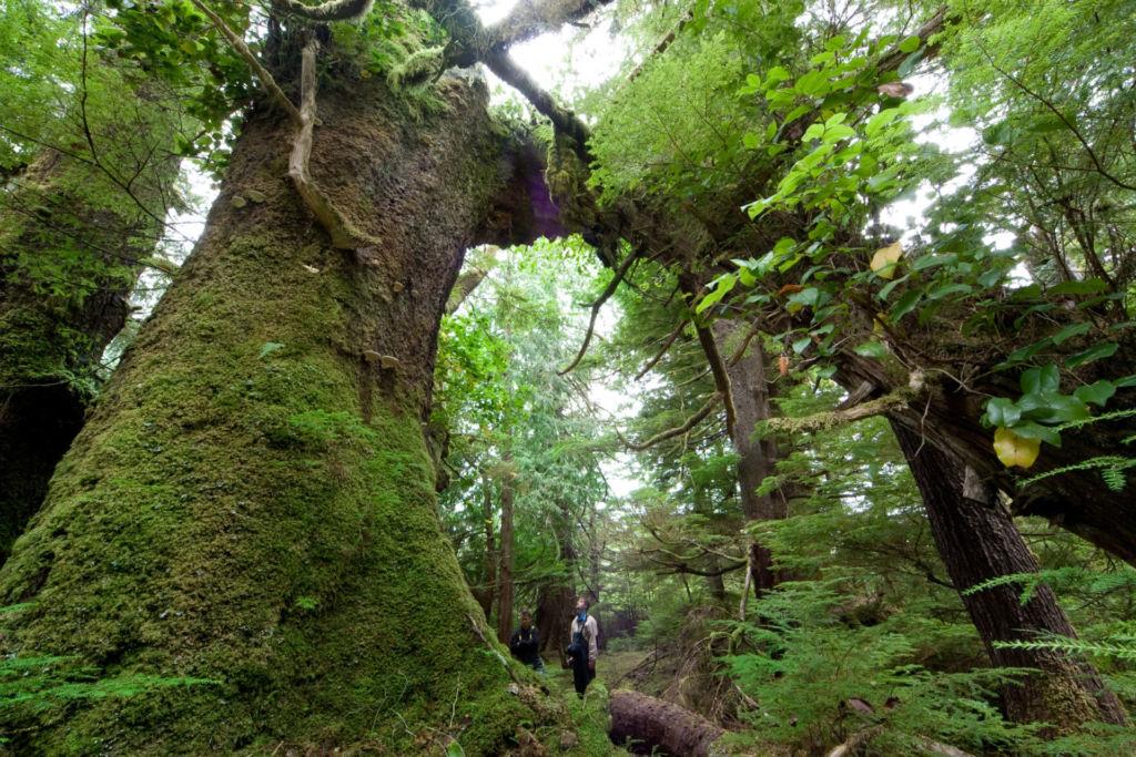 Baumriesen im temperierten Regenwald in Westkanada
