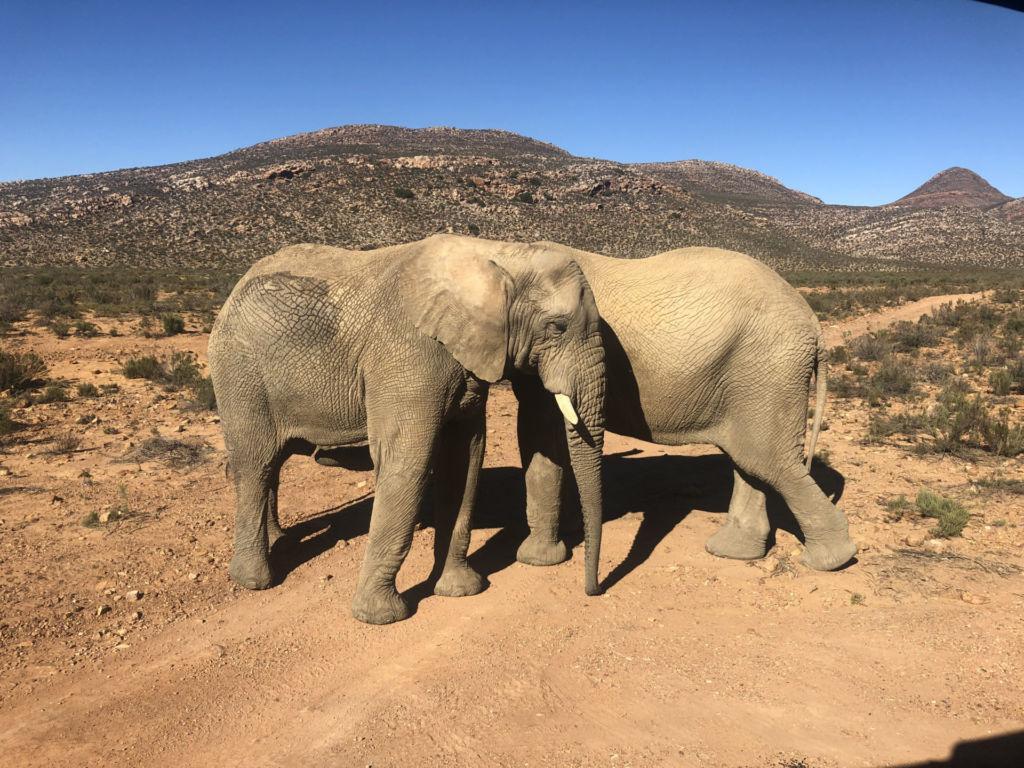 Blick auf zwei Elefanten in Südafrika