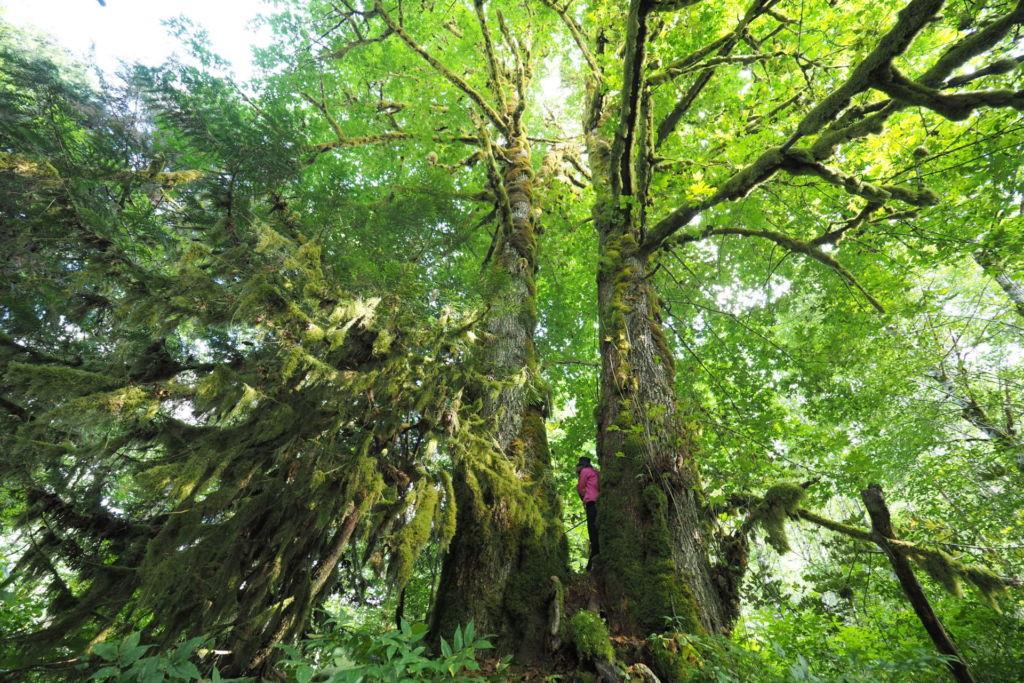 Ein Mädchen steht auf dem Wurzelwerk eines Ahornbaums