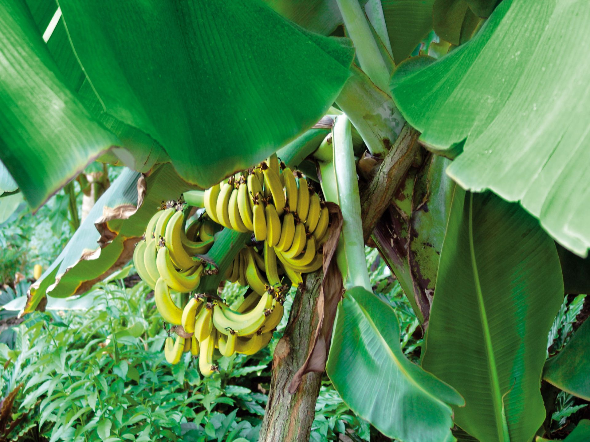 die Pflanzen des Tropenwaldes gedeien prächtig, sogar Bananen wachsen hier